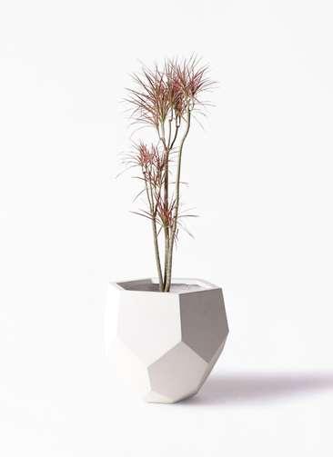 観葉植物 ドラセナ コンシンネ レインボー 8号 ストレート ポリゴヘクサ 白 付き