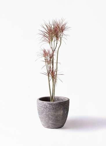 観葉植物 ドラセナ コンシンネ レインボー 8号 ストレート アビスソニアミドル 灰 付き
