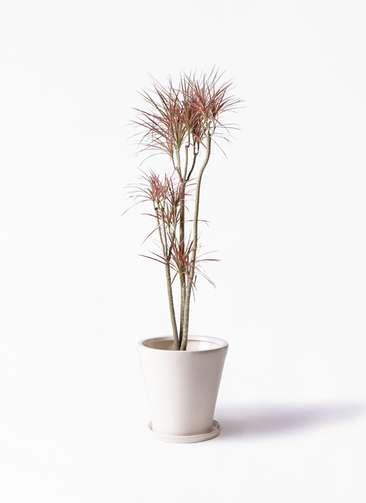 観葉植物 ドラセナ コンシンネ レインボー 8号 ストレート サブリナ 白 付き