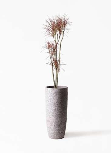 観葉植物 ドラセナ コンシンネ レインボー 8号 ストレート エコストーントールタイプ Gray 付き