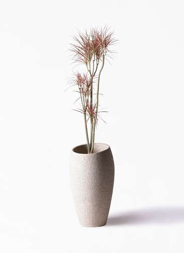 観葉植物 ドラセナ コンシンネ レインボー 8号 ストレート エコストーントールタイプ Light Gray 付き