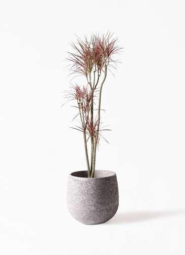 観葉植物 ドラセナ コンシンネ レインボー 8号 ストレート エコストーンGray 付き