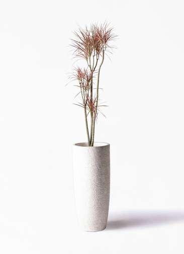 観葉植物 ドラセナ コンシンネ レインボー 8号 ストレート エコストーントールタイプ white 付き