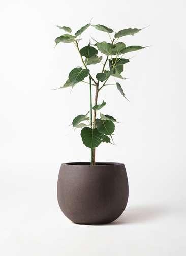 観葉植物 インドボダイジュ 8号 テラニアス ローバルーン アンティークブラウン 付き