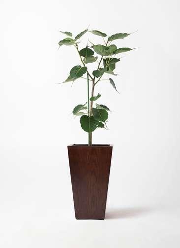 観葉植物 インドボダイジュ 8号 MOKU スクエア 付き