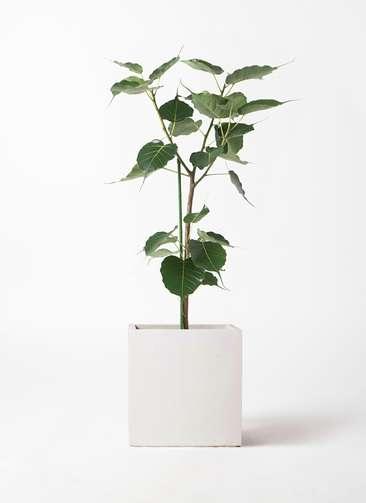 観葉植物 インドボダイジュ 8号 バスク キューブ 付き