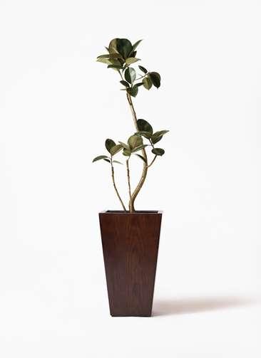 観葉植物 フィカス バーガンディ 8号 MOKU スクエア 付き