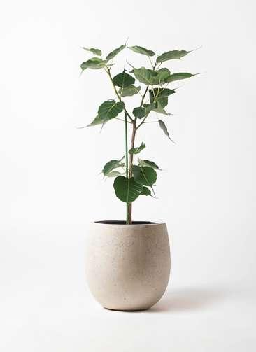 観葉植物 インドボダイジュ 8号 テラニアス バルーン アンティークホワイト 付き