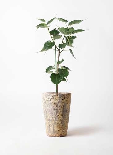 観葉植物 インドボダイジュ 8号 アトランティス クルーシブル 付き