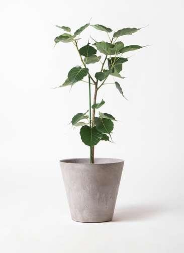 観葉植物 インドボダイジュ 8号 アートストーン ラウンド グレー 付き