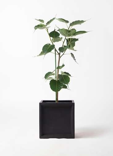 観葉植物 インドボダイジュ 8号 ブリティッシュキューブ 付き