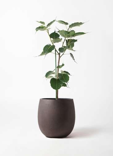 観葉植物 インドボダイジュ 8号 テラニアス バルーン アンティークブラウン 付き
