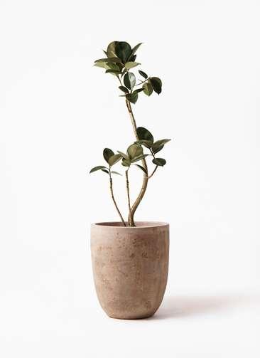 観葉植物 フィカス バーガンディ 8号 曲り ルーガ アンティコ アルトエッグ 付き