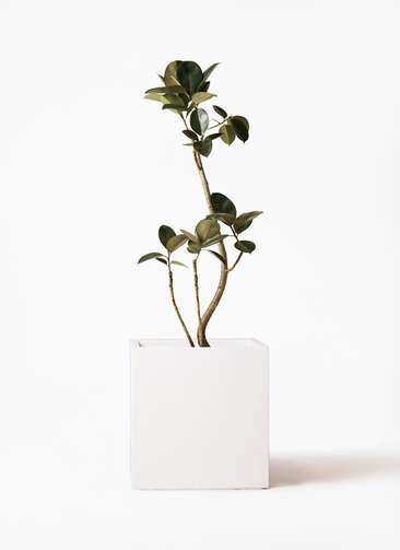 観葉植物 フィカス バーガンディ 8号 バスク キューブ 付き