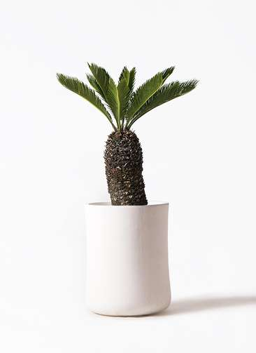 観葉植物 ソテツ 8号 バスク ミドル ホワイト 付き