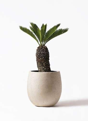 観葉植物 ソテツ 8号 テラニアス バルーン アンティークホワイト 付き