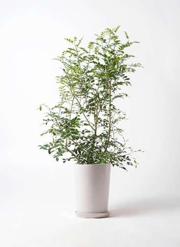 観葉植物 シルクジャスミン 8号 LO ラウンド 付き