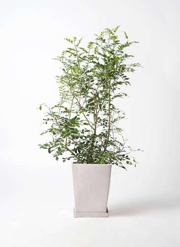 観葉植物 シルクジャスミン 8号 LO スクエア 付き