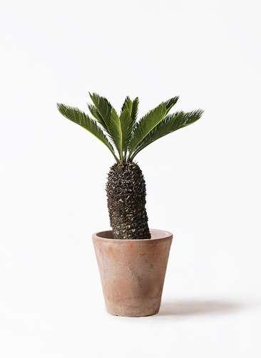 観葉植物 ソテツ 8号 ルーガ アンティコ ソリッド 付き