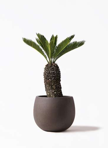 観葉植物 ソテツ 8号 テラニアス ローバルーン アンティークブラウン 付き