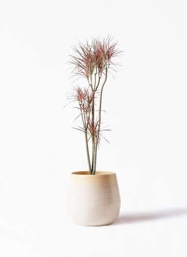 観葉植物 ドラセナ コンシンネ レインボー 8号 ストレート ササール 白 付き