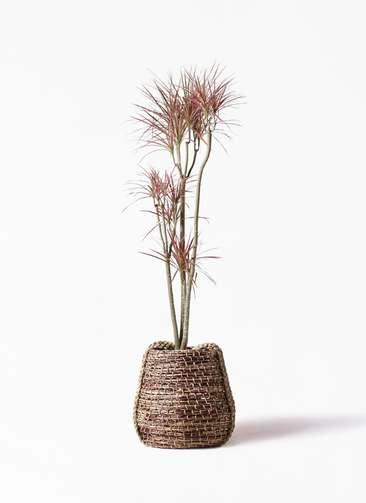 観葉植物 ドラセナ コンシンネ レインボー 8号 ストレート リゲル 茶 付き