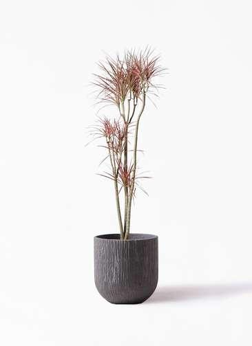 観葉植物 ドラセナ コンシンネ レインボー 8号 ストレート カルディナダークグレイ 付き