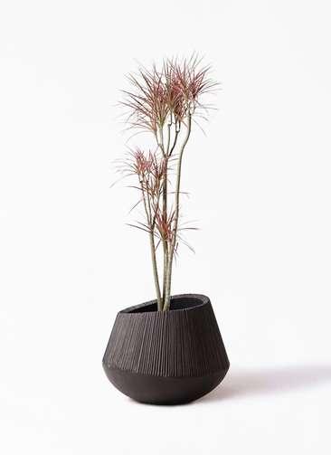 観葉植物 ドラセナ コンシンネ レインボー 8号 ストレート エディラウンド 黒 付き