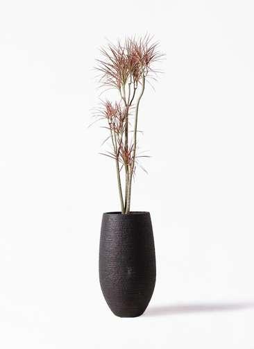 観葉植物 ドラセナ コンシンネ レインボー 8号 ストレート フォンティーヌトール 黒 付き