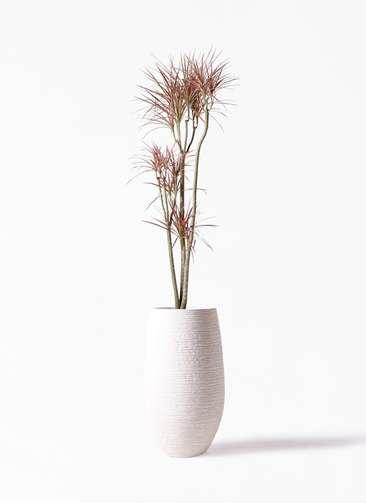 観葉植物 ドラセナ コンシンネ レインボー 8号 ストレート フォンティーヌトール 白 付き
