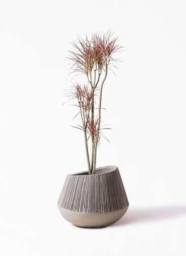 観葉植物 ドラセナ コンシンネ レインボー 8号 ストレート エディラウンド グレイ 付き