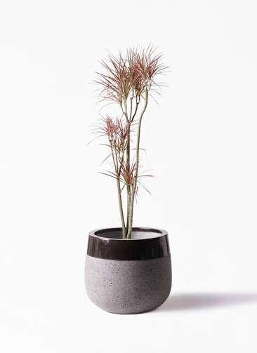 観葉植物 ドラセナ コンシンネ レインボー 8号 ストレート ファイバーストーンタウルス 黒 付き