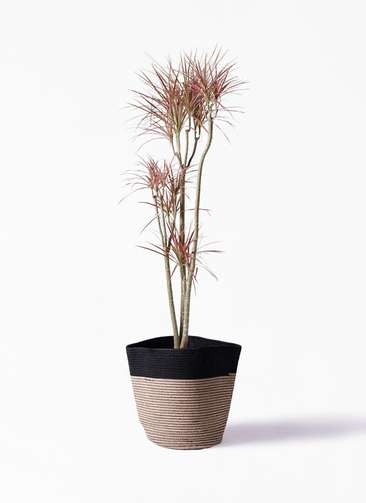 観葉植物 ドラセナ コンシンネ レインボー 8号 ストレート リブバスケットNatural and Black 付き