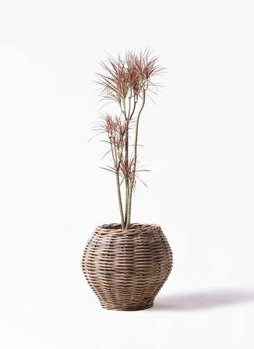 観葉植物 ドラセナ コンシンネ レインボー 8号 ストレート グレイラタン 付き