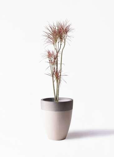 観葉植物 ドラセナ コンシンネ レインボー 8号 ストレート ファイバーストーンカプリ サンディホワイト 付き
