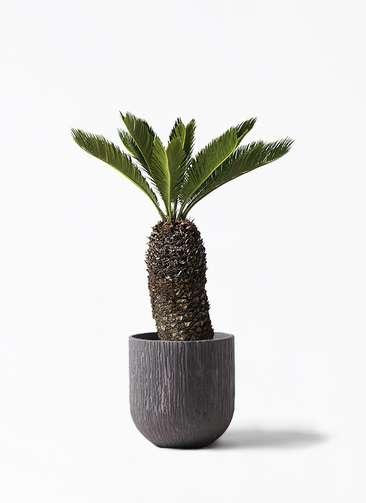 観葉植物 ソテツ 8号 カルディナダークグレイ 付き