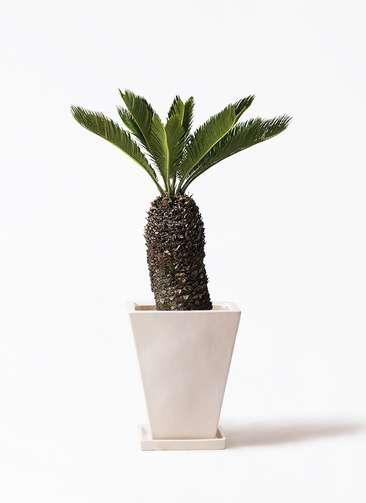 観葉植物 ソテツ 8号 スクエアハット 白 付き