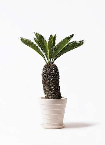 観葉植物 ソテツ 8号 サバトリア 白 付き