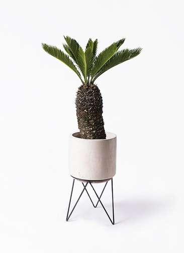 観葉植物 ソテツ 8号 ビトロ エンデカ 鉢カバースタンド付 クリーム 付き