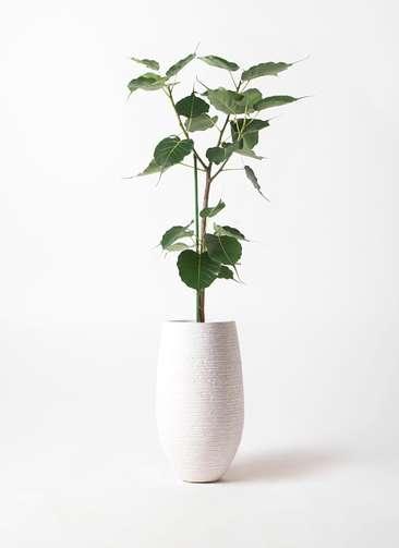 観葉植物 インドボダイジュ 8号 フォンティーヌトール 白 付き