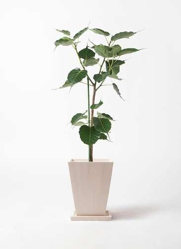 観葉植物 インドボダイジュ 8号 パウダーストーン 白 付き