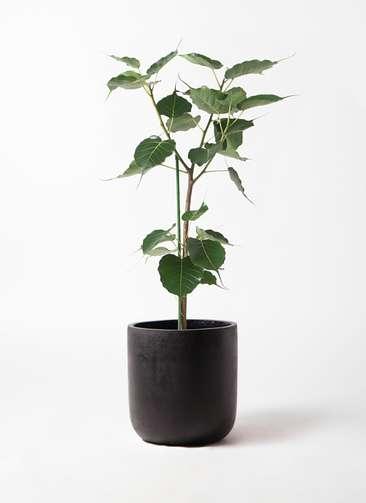 観葉植物 インドボダイジュ 8号 エルバ 黒 付き