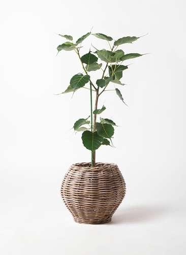 観葉植物 インドボダイジュ 8号 グレイラタン 付き