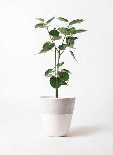 観葉植物 インドボダイジュ 8号 ジュピター 白 付き