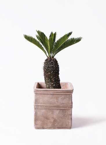 観葉植物 ソテツ 8号 テラアストラ カペラキュビ 赤茶色 付き