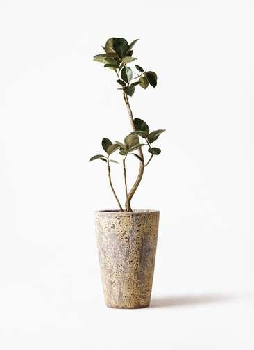 観葉植物 フィカス バーガンディ 8号 曲り アトランティス クルーシブル 付き
