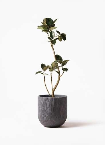 観葉植物 フィカス バーガンディ 8号 曲り カルディナダークグレイ 付き