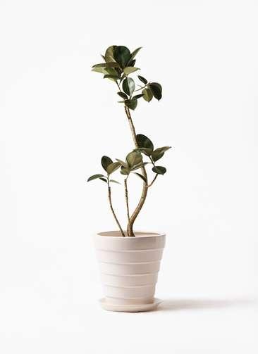 観葉植物 フィカス バーガンディ 8号 曲り サバトリア 白 付き