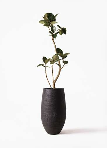 観葉植物 フィカス バーガンディ 8号 フォンティーヌトール 黒 付き
