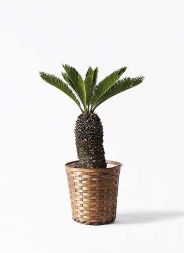 観葉植物 ソテツ 8号 竹バスケット 付き